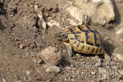 2008-B07-25 - Griechische Landschildkröte