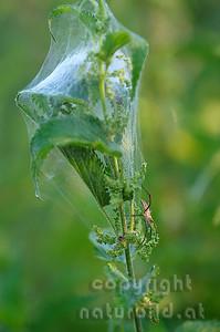 2009-20-07 - Spinne bewacht Brut