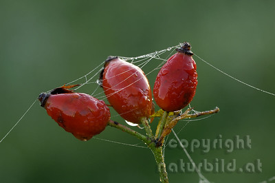 2006-06-08 - Spinnwebe auf Hagebutten