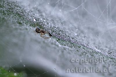 2005-03-46 - Spinne im Netz mit Tau