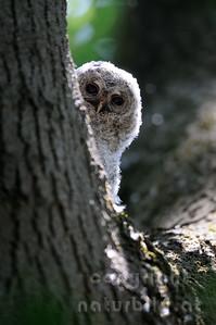 09-08-10 - Waldkauz Nestflüchter