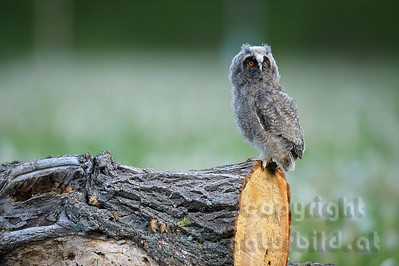 08-02-18 - Waldohreule Jungvogel