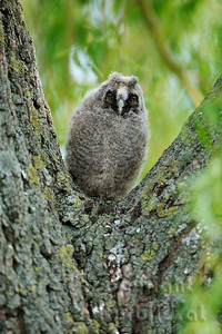 08-02-05 - Waldohreule Jungvogel