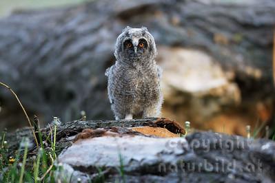 08-02-19 - Waldohreule Jungvogel