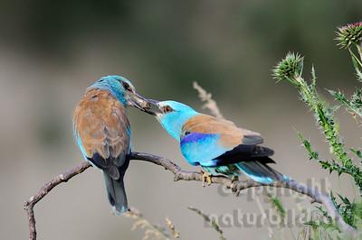 08-B24-28 - Blauracken Männchen übergibt einen Lehmbrocken