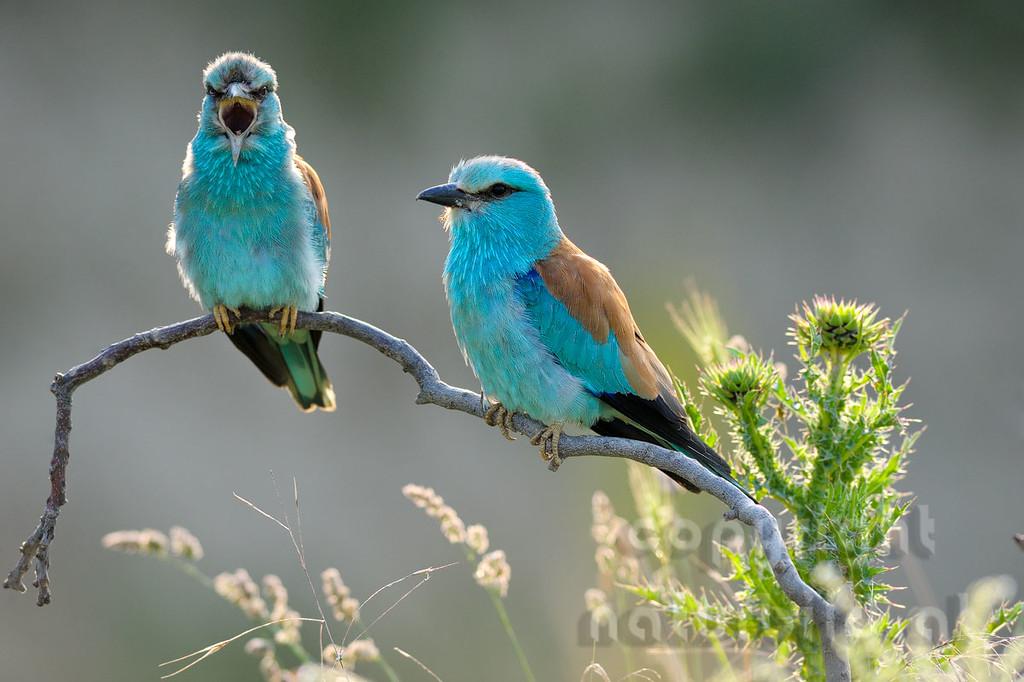 08-B19-11 - Blaurackenpärchen mit rufendem Männchen