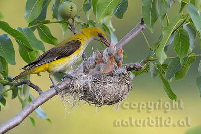 2009-36-01 - Pirol Weibchen beim füttern