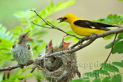 2009-31-24 - Pirol mit Futter am Nest