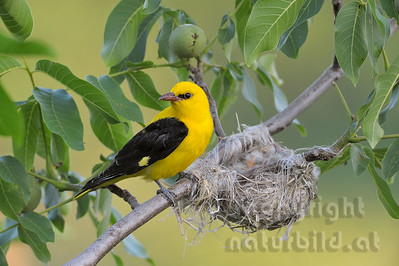 2009-36-02 - Pirol sichert am Nest