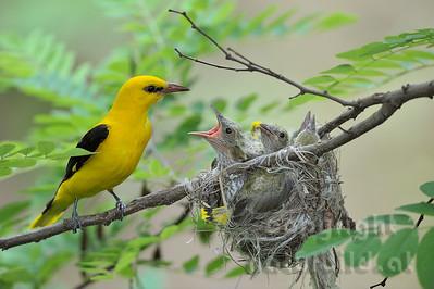 2009-31-19 - Pirol Männchen am Nest