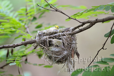 2009-31-15 - Junge Pirole im Nest