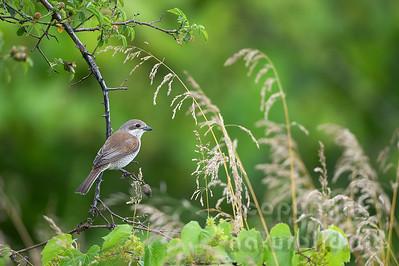 14-B07-07 - Neuntöter Weibchen