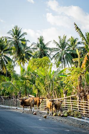 Kühe sind nur eins der vielen Verkehrshindernisse, die hier lauern. Hier stehen sie brav am Straßenrand und schauen neugierig die fremden Reisenden an.