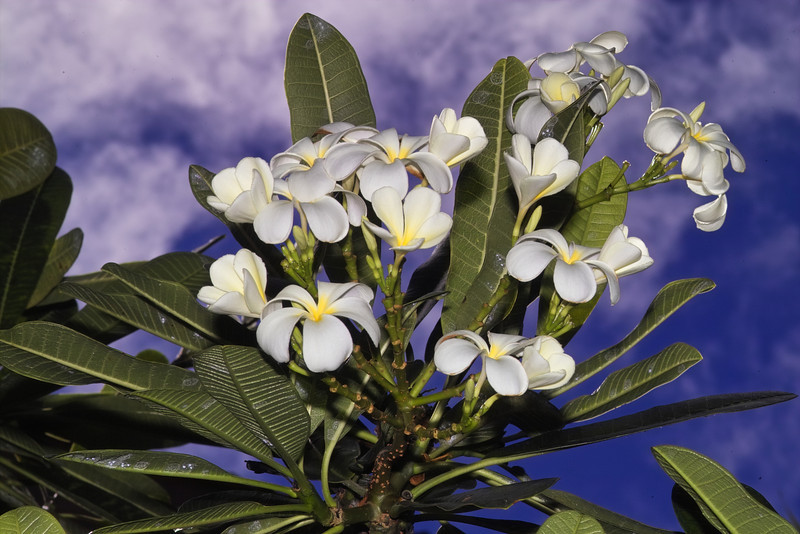 Terri wanted a painting of Plumeria to go with several Hawaiian flower paintings we have in our bedroom in Maryland.  We couldn't find anything we liked, so Bill did the next best thing and captured this beautiful Plumeria photograph.<br /> <br /> Aloha and Mahalo, until next year!