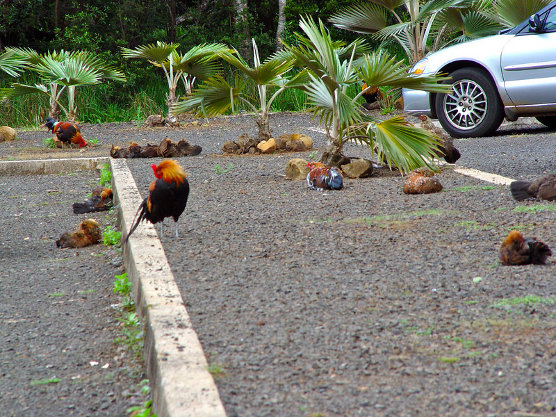 Kaua'i's chickens are everywhere.  Theories abound as to why there are so many wild chickens, but they certainly roam the parking lots at Waimea Canyon in numbers.  How many wild chickens to you see in this one picture?