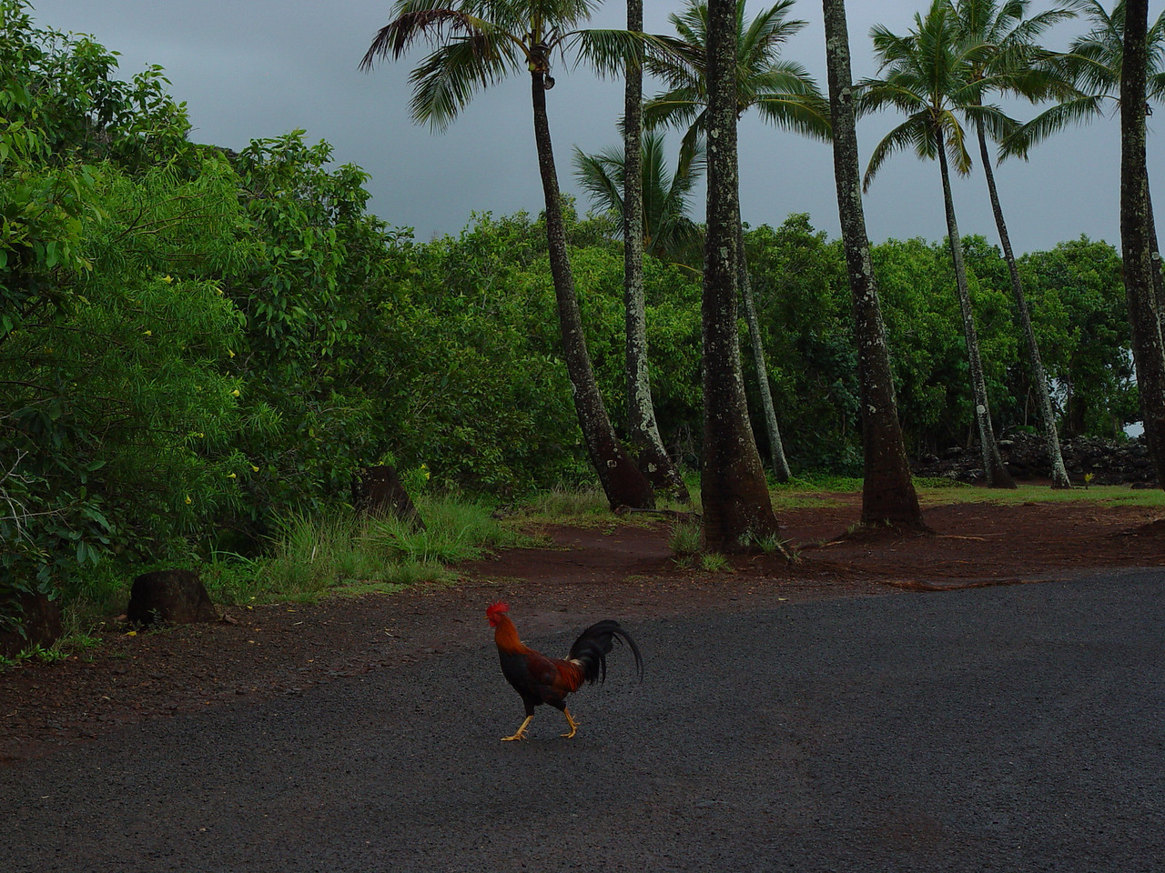 The beautiful rooster icaught our attention as he pranced about the parking lot as though he owned it!