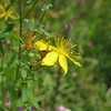 Perforate St John's Wort