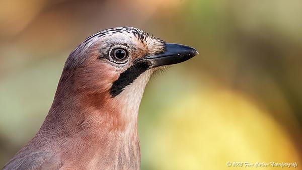 Skovskade (Garrulus garrulus - Eurasian jay)