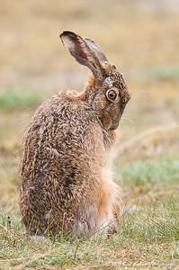 Hare (Lepus europaeus - European hare), der soignerer sig - Præstø Fed - maj 2005