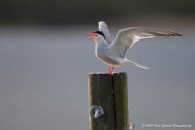 Fjordterne (Sterna hirundo - Common tern) kaldende med løftede vinger - Lyngby Sø - jun. 2005