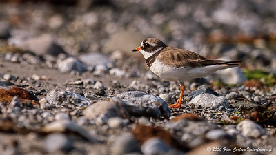 Præstekrave (Charadrius hiaticula - Common ringet plover)