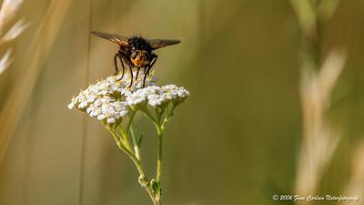 Flue i blomst