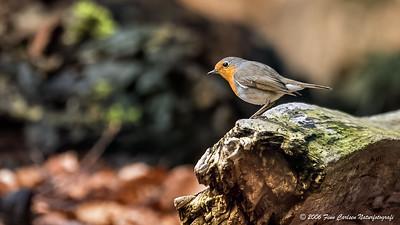 Rødhals (Erithacus rubecula - European Robin)