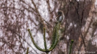 Spurveugle (Glaucidium passerinum - Pygmy owl)
