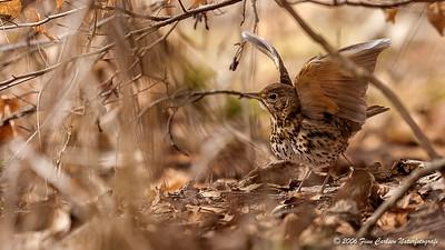 Sangdrossel (Turdus philomelos - Song thrush)