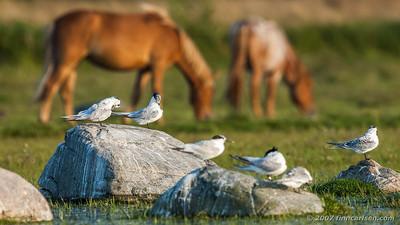 Splitterner - Sterna sandvicensis - Sandwich tern