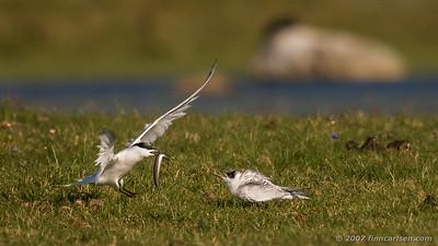 Splitterne - Sterna sandvicensisSandwich tern