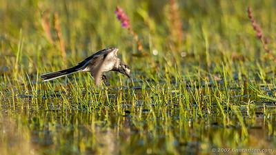 Hvid vipstjert - Motacilla alba - White wagtail