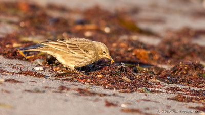 Skærpiber - Anthus petrosus - Eurasian Rock Pipit