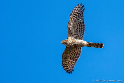 Spurvehøg - Accipiter nisus - Eurasian Sparrowhawk