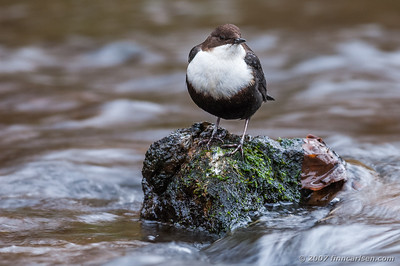 Vandstær - Cinclus cinclus - White-throated Dipper
