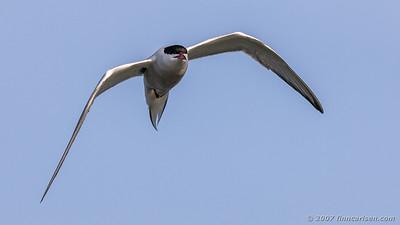 Fjordterne - Sterna hirundo - Common tern
