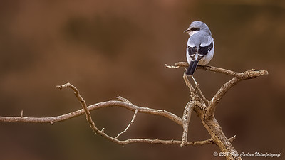Stor Tornskade (Lanius excubitor - Great Grey Shrike)