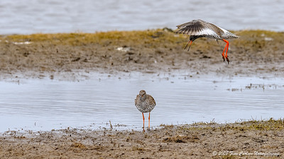Rødben (Tringa totanus - Common Redshank)