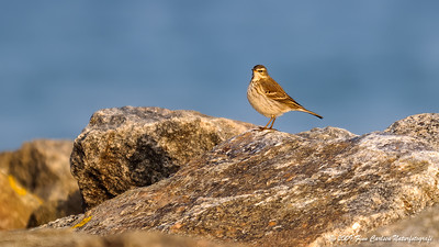 Bjergpiber (Anthus spinoletta - Water Pipit)