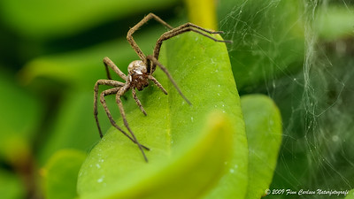 Almindelig rovedderkop (Pisaura mirabilis - Nursery web spider)