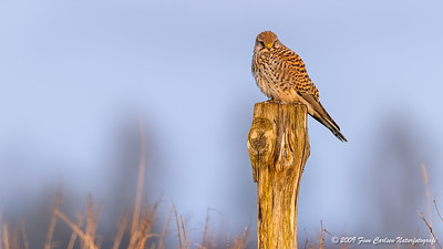 Tårnfalk (Falco tinnunculus - Common Kestrel)