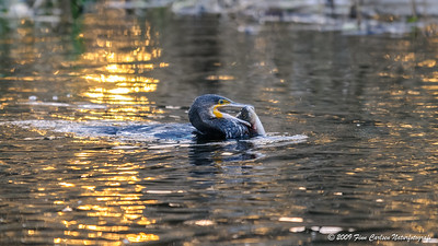 Skarv (Phalacrocorax carbo - Great Cormorant)