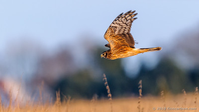 Blå kærhøg - Circus cyaneus - Northern Harrier