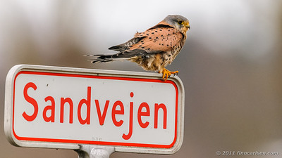 Tårnfalk - Falco tinnunculus - Kestrel
