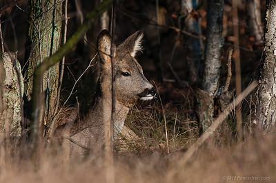 Rådyr (Capreolus capreolus - Roe Deer), hvilende hun, Lyngby Åmose - marts 2012