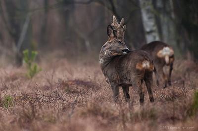 Rådyr (Capreolus capreolus - Roe Deer), han og hun, Lyngby Åmose - marts 2012