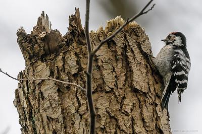 Lille flagspætte (Dendrocopus minor - Lesser Spotted Woodpecker) fouragerende han, Vaserne - april 2012