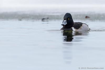 Halsbåndstroldand (Aythya collaris - Ring-necked Duck)