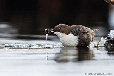 Vandstær (Cinclus cinclus - White-throated Dipper)