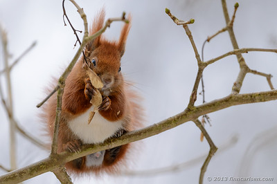 Egern (Sciurus vulgaris - Red squirrel)